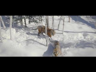 Вы только посмотрите, как тигры реагируют на дроны, снимающие их