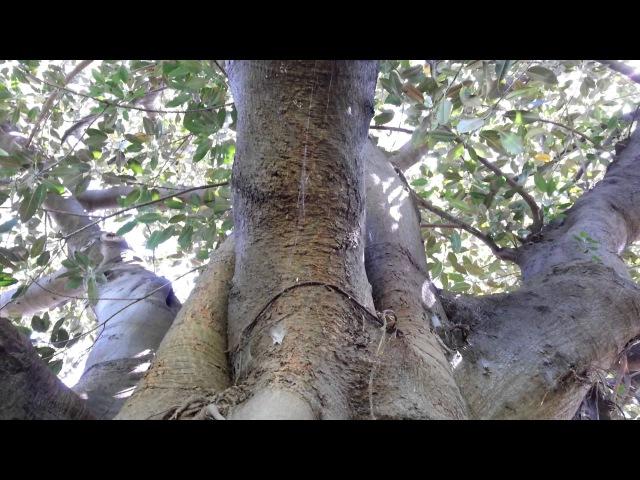 Ficus Macrophylla - Moreton Bay Fig - Ficus Gigant - Top 10 Bonsai HD 13