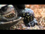 Болотная черепаха откладывает яйца.Turtle lays eggs.