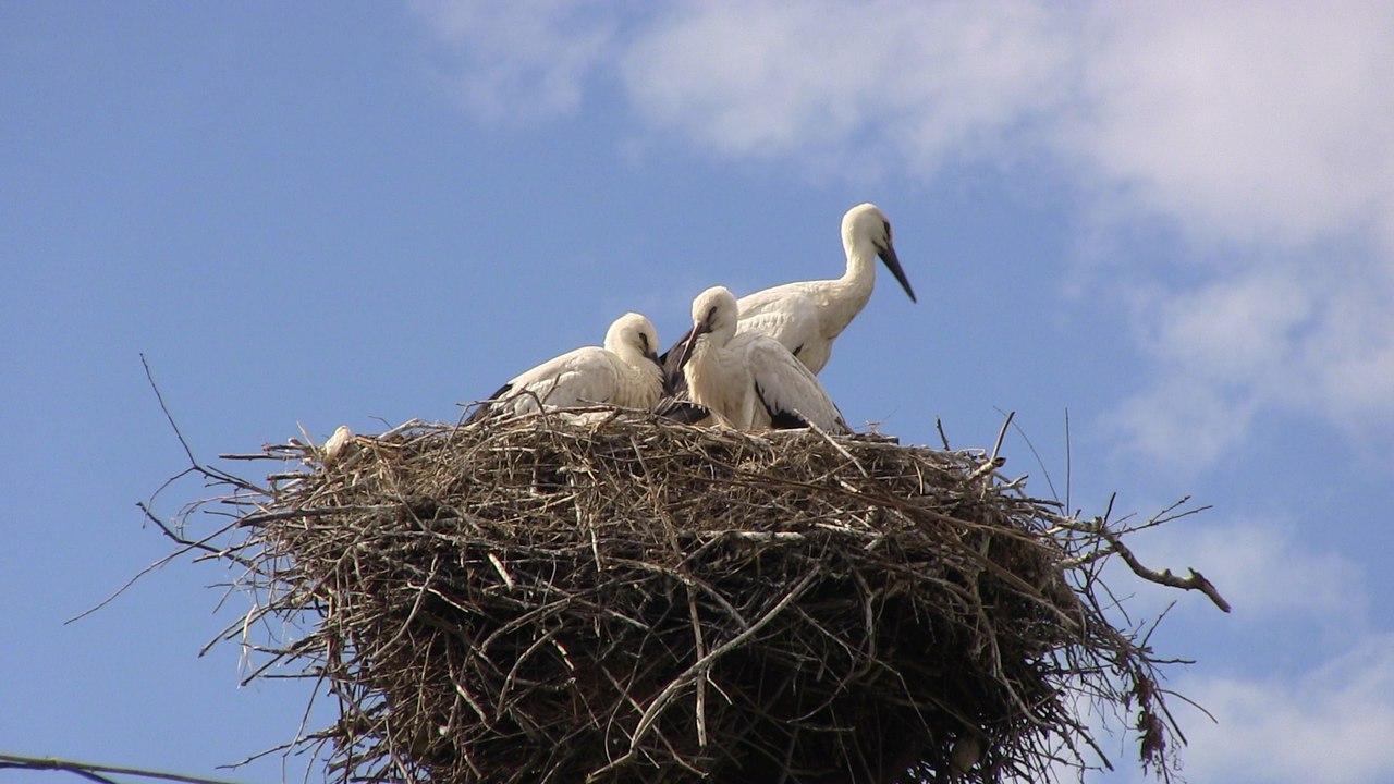 Гнездо Аиста белого (Ciconia ciconia) на столбе