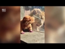Встреча льва с ребенком переодетым в львёнка