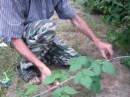 Размножение малины отводками