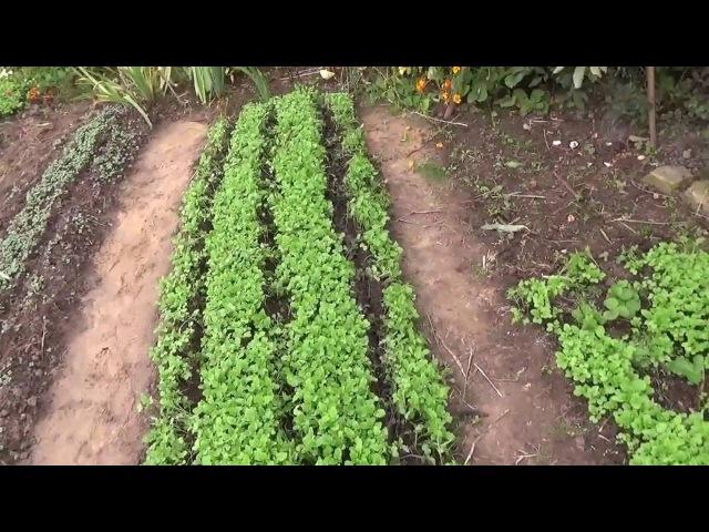 Посадка озимого чеснока в сидераты Природное земледелие