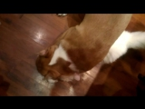 кровожадный питбуль убийца грызет кота на смерть ( море крови )