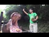 Бегемоты целиком едят арбузы в зоопарке