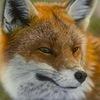 Foxy-art