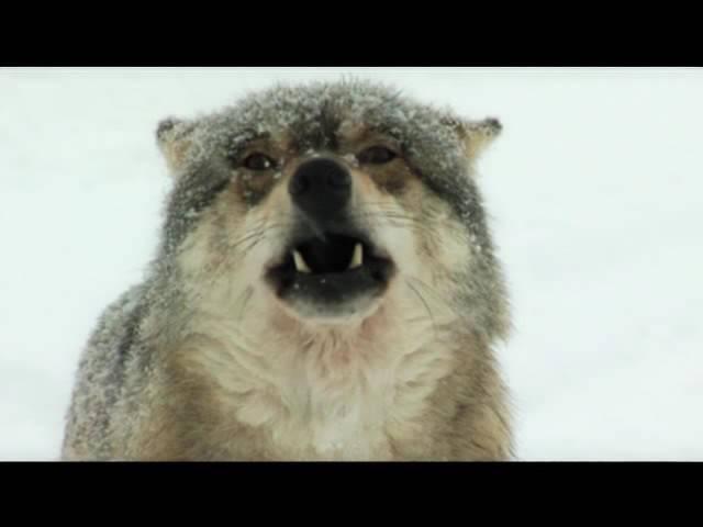 Документальный фильм Волчий сезон смотреть онлайн без регистрации
