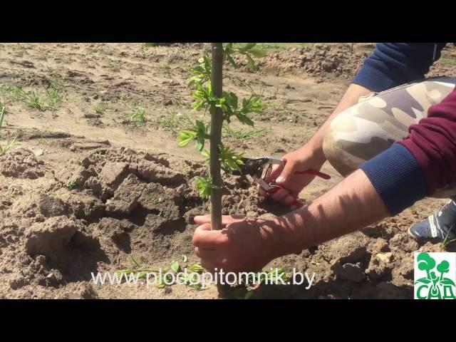 Обрезка растений: сливы, алычи, абрикоса (часть 2).