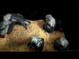 Птенцы жако выкормыши