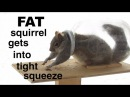 Squirrel ● literally ● bites off more than he can chew !