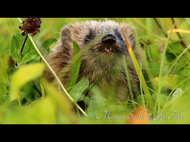 Hedgehog, Junger Igel, Herbstsonne