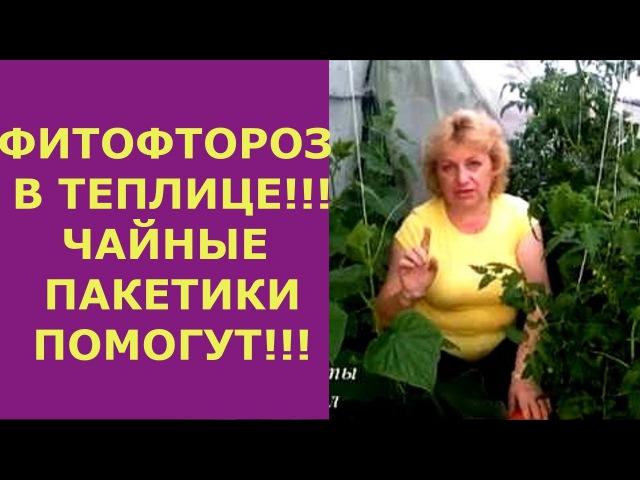 ФИТОФТОРА В ТЕПЛИЦЕ! ПОПЬЕМ ЧАЙКУ Чайные пакетики и йод в борьбе с фитофторой помидор, огурцов