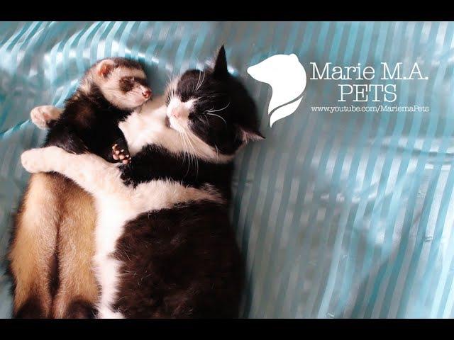 Невероятная дружба! Хорек и кошка спят вместе | Ferret and cat sleep together| Рикки и Буся