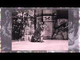 Azərbaycan Turan Pələngi Азербайджанские Туранский тигр