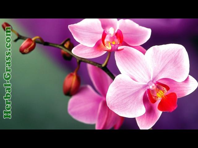 Орхидеи, виды орхидей - плотоядное растение хищник, купить семена орхидей