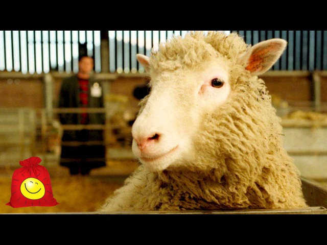 Овцы думают, что они собаки. Смешные овцы и собаки