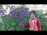 Неприхотливые растения для сада Посконник. Сайт