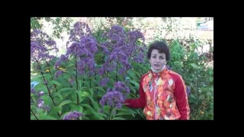 Неприхотливые растения для сада Посконник. Сайт Садовый мир