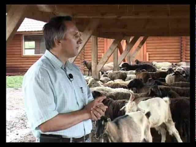 Живой дом. Афганская курдючная порода овец.