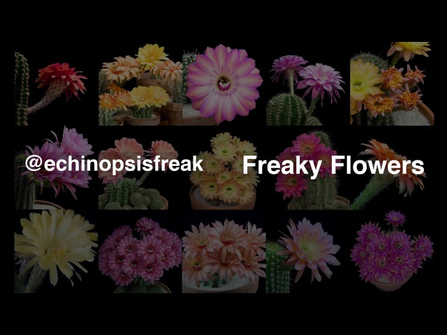 Freaky Flowers - Echinopsis Cacti in Bloom