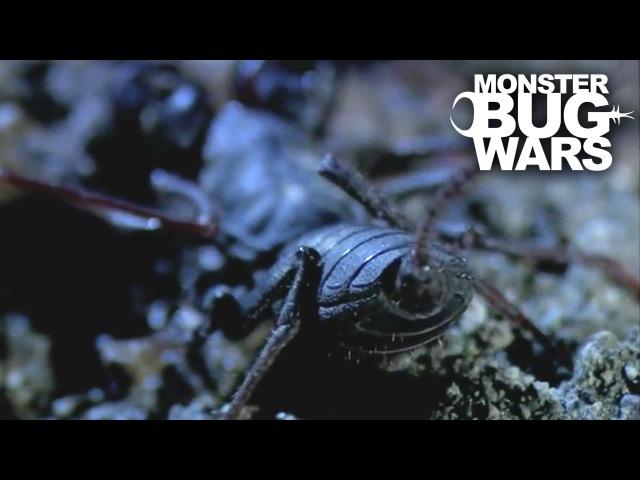 Stripe Tailed Centipede vs Vinegaroon   MONSTER BUG WARS