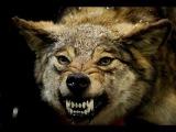 Нападение волка на человека! Слабонервным не смотреть! 18+