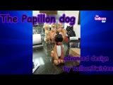 The Papillon Dog Advanced balloon twisting tutorial