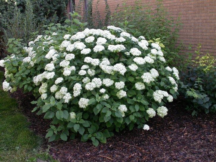Морозоустойчивость гортензии — краткие характеристики-Гортензия древовидная-Hydrangea arborescens