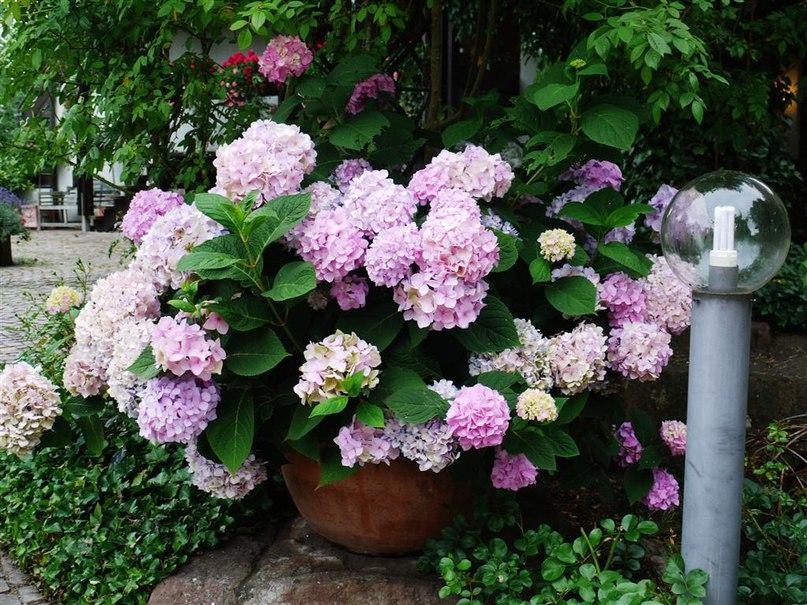 Морозоустойчивость гортензии — краткие характеристики-гортензия коупнолистная-hydrangea macrophylla