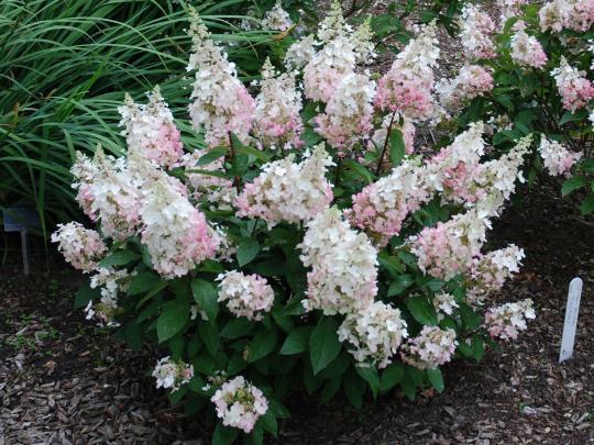 Морозоустойчивость гортензии — краткие характеристики-Гортензия метельчатая-Hydrangea-paniculata