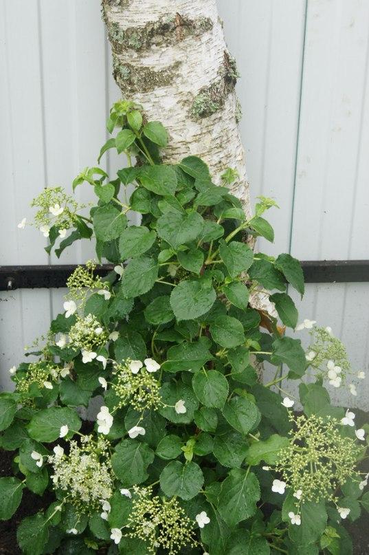 Морозоустойчивость гортензии — краткие характеристики-Гортензия черешковая (лиана)-Hydrangea petiolaris