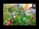 Прекрасные цветы астры в саду дворе на даче фото