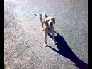 Funny barcking dog