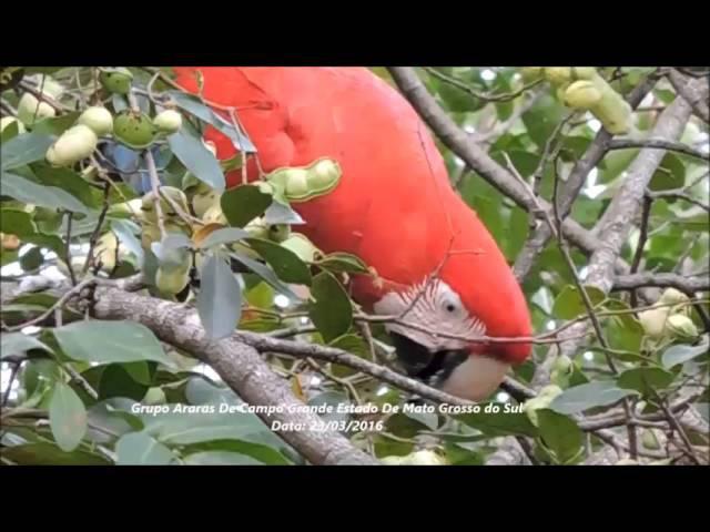 Зеленокрылые ара (Ara chloropterus) кормятся незрелыми плодами инги съедобной (inga edulis)