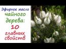 Масло чайного дерева: эфирное масло №1 в любой аптечке