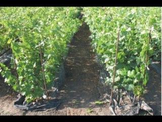 Основные секреты выращивания саженцев винограда. Очень душевное видео