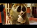 Cutest Little Guy - Slow Loris Eating Rice