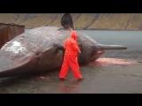 Взрыв туши кита. Такого вы точно не видели!!!