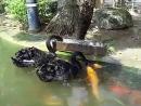 Чёрные лебеди кормят рыбок