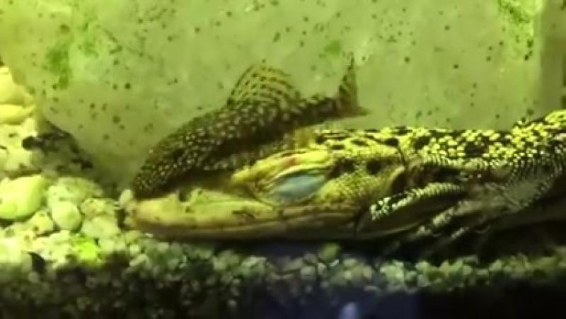 Необычный симбиоз в акватеррариуме Varanus melinus и Ancistrus sp
