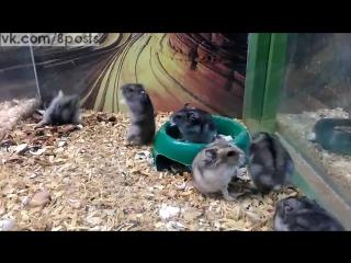 Хомяк много раз делает сальто / This hamster is broken / Кажется, этот хомяк сломался