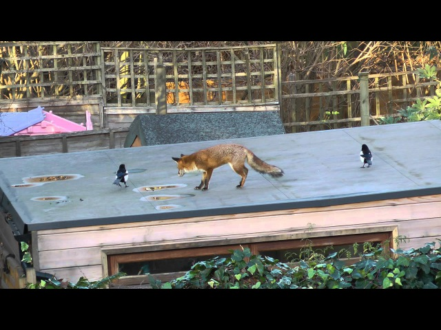Magpies taunt the fox