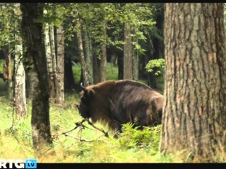ЗУБР. The European Bison - the return to the wild (2014)
