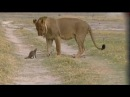 Мангуст против льва. Схватка крошечного зверька и огромного льва / Мангуст Победитель - Редкие кадры