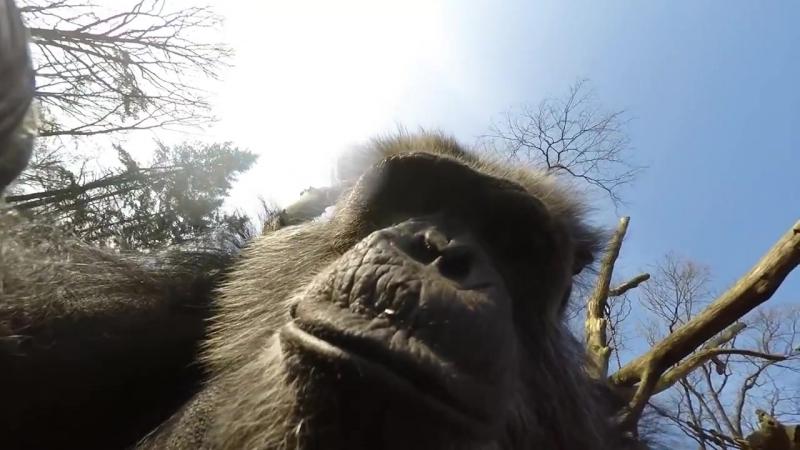 Chimpansees halen drone naar beneden en filmen elkaar! - Chimpanzee
