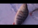 Ловля крупного окуня зимой на бомбо-снасть ЯЙЦА или БАЛДА.