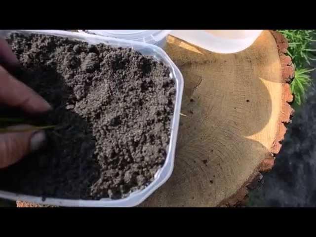 Как вырастить лотос из семян. Часть 2 - пересадка в контейнер