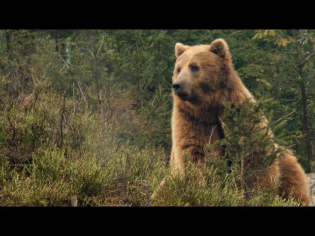 Закарпаття Шипіт, Синевир, Бурі ведмеді – Transcarpathian Ukraine Shypit, Synevyr, Brown Bears