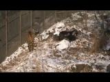 Необыкновенная дружба тигра Амура и козла Тимура