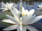 Эти белые цветы.....